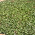 Cranesbill (Geranium X cantabrigiense 'Biokova')
