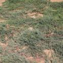Blue Rug Juniper (Juniperus horizontalis 'Wiltonii')