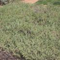 Creeping Sage (Salvia sonomensis 'Gracias')