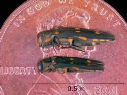 Goldspotted Oak Borer