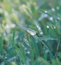 Wet_grass