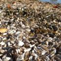 Zebra Mussel Shells on the Shore of Lake Winnebago, Wisconsin (photo by Andrew Sabai)