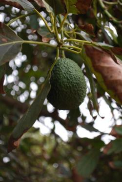 Avocado Close-up 02