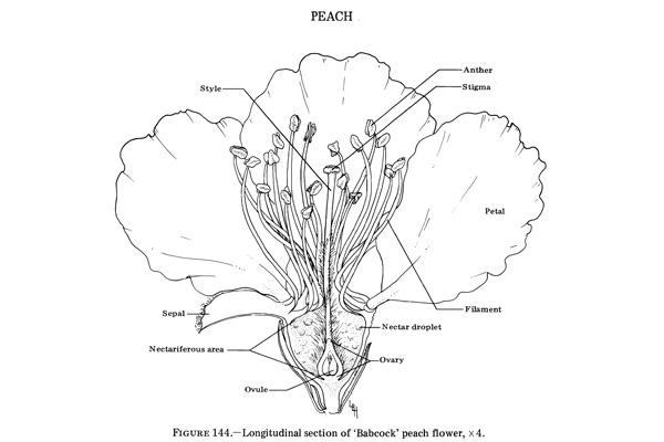 Anatomy Of Common Tree Fruit Nut Crops