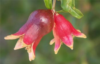 Pomegranate developing fruit, cv. Parafianka. photo by Jeff Moersfelder, Nat'l Clonal Germplasm Repository