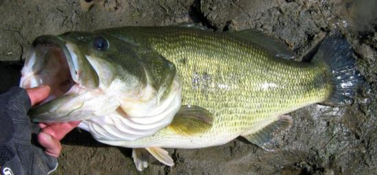 Largemouth bass, captured from Snodgrass Slough, CA, and released. Length = 22.75