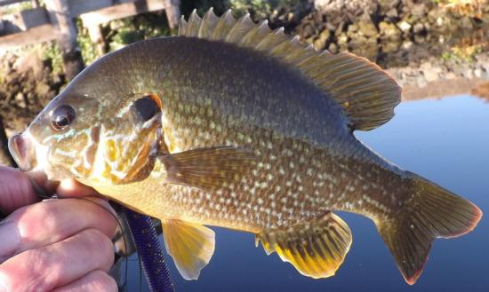 Pumpkinseed, caught and released in the South Fork Mokelumne River, (San Joaquin County), CA, Oct. 3, 2014. Photo by Gary Riddle.