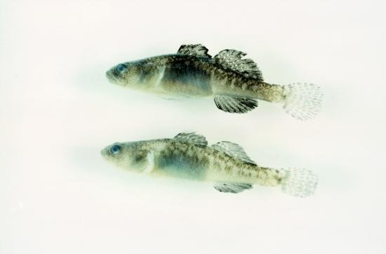 Tidewater Goby Female (Top) and Male (Bottom). Photo from Camm C. Swift. Museum of Natural History Los Angeles County