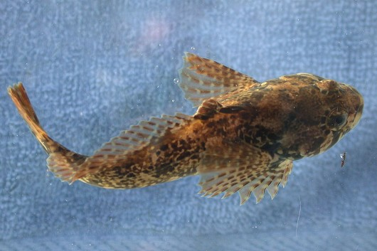"Marbled sculpin, approximately 7.5 cm (3"") long, taken by Lisa Thompson and Daniel J. Drake (dorsal view). Location: Shasta River, California. Date: 12/16/2003."