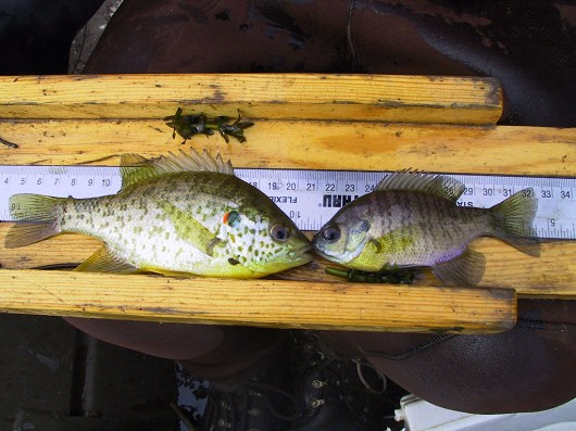 Redear sunfish (left) and bluegill (right). Photo courtesy of Professor Peter B. Moyle.