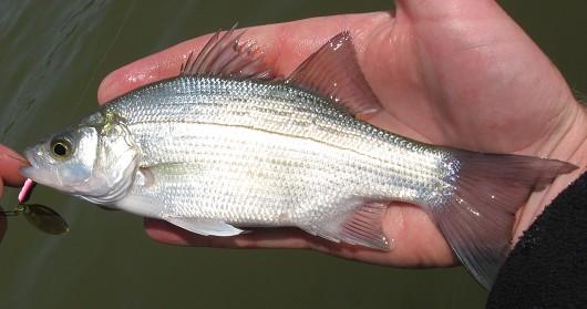 California Fish Species - California Fish Website