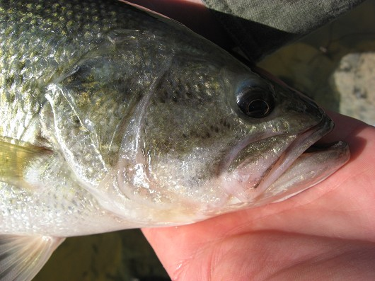 Largemouth bass (showing maxilla) caught in Lake Berryessa Reservoir in March 2009 by Teejay O'Rear. Photo by Amber Manfree.