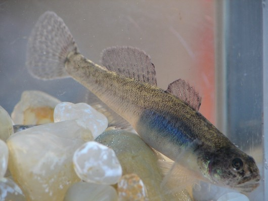 Tidewater goby. Captured from Lake Earl (a coastal lagoon in Del Norte County, CA) in 2007. Size: approximately 48 mm (2