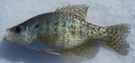 White crappie. Photo courtesy of Corey Geving, webmaster at roughfish.com.