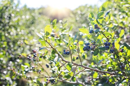 blueberries-field