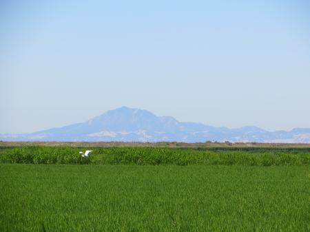 Delta rice production with Mount Diablo in the background.