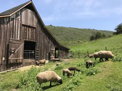 Ewes & lambs graze outside Barn 2