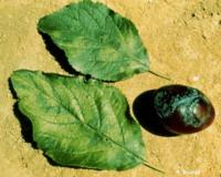 Fig. 3. PPV symptoms on plum leaves and fruit. Photo by R. Scorza, USDA-ARS