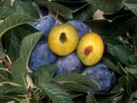 Fig. 3. PPV-resistant fresh market plum variety 'Honeysweet'. Photo by S. Bauer, UCDA-ARS