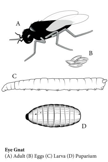 Eye Gnat-Stages