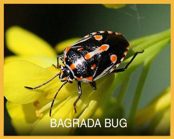 bagrada bug button