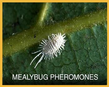 Mealybug Button