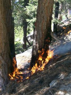 A prescribed fire burns slowly across the forest floor in Incline Village, Nevada