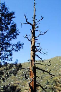 Snags (standing dead trees) provide critical habitat for many wildlife species