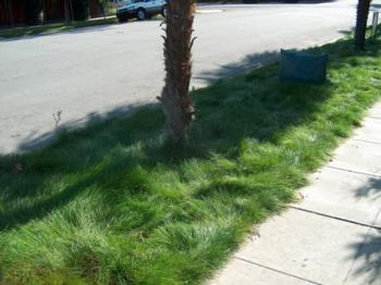 CA Native Bentgrass