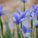 April Iris