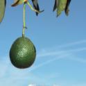2015-05-02 Photo Avocado Hanging