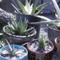 205-04-11 Photo Aloe