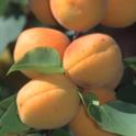 ApricotonTree_04142014_001