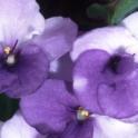 2015-08-18-African Violets