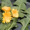 2015-08-08 Edible Flowers