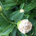 poeny flower buds (1)