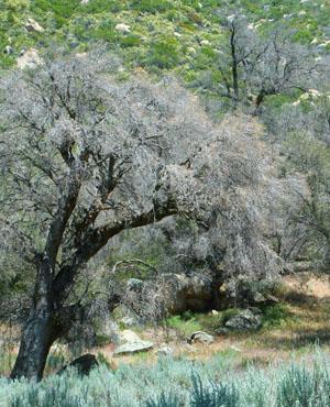 Dead Oak Trees
