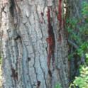 Bark stains