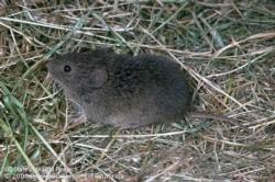 Genetic and Morphological Stability of Isolated Populations of Small Mammals