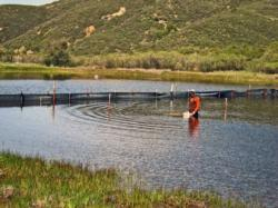 Effects of non-native mosquitofish on a California pond ecosystem