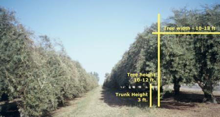 Canopy Dimensions for a Mature Orchard, Pruned for Mechanical Harvest.