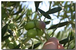 'Manzanillo' in one of many olive cultivars grown at Finca La Bella