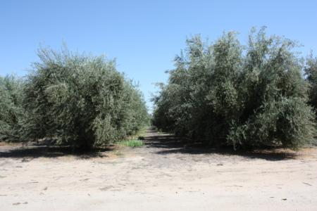 The tree on the left is shaped for mechanical harvest
