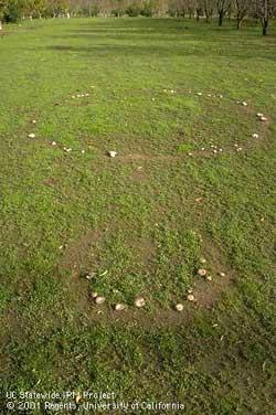 Lawn fungi