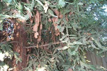 redwood die-back