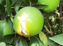 Citrus Split