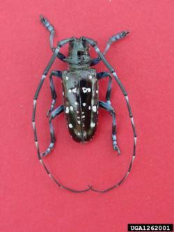Asian Longhorned Beetle Adult