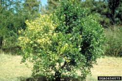 Citrus Greening Disease infected tree