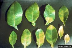 Leaf samples showing Citrus Greening Disease