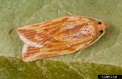 Light Brown Apple Moth Adult